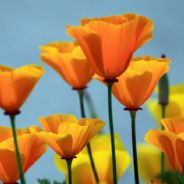 Californian Poppy - Eschscholzia - 25 grams